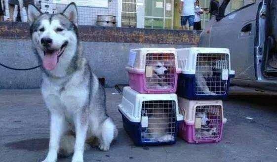 狗狗托运要注意什么?